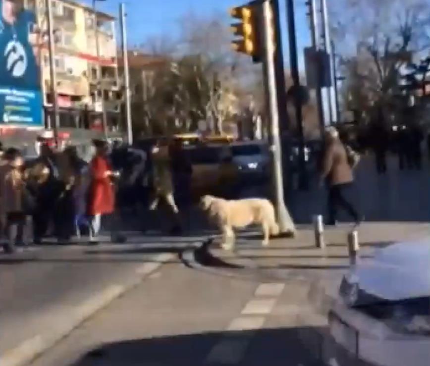 Trafik ışıklarına uyan akıllı köpek -izle