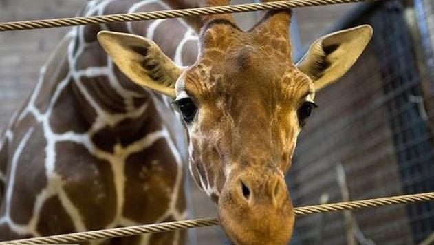 Zürafa Marius'a Kanada'dan talep gelmiş