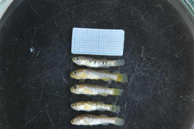 Çanakkale'de yeni bir balık türü keşfedildi