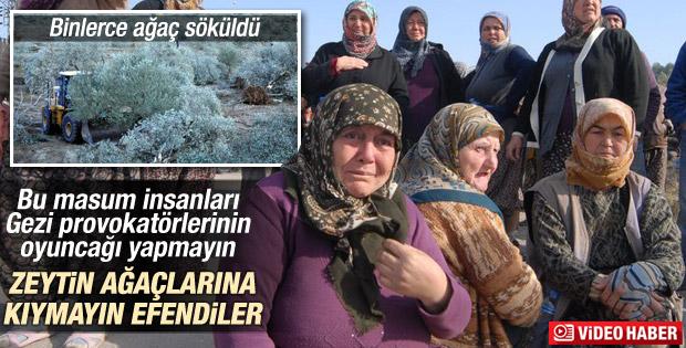 Soma Yırca'da zeytin ağacı gerginliği