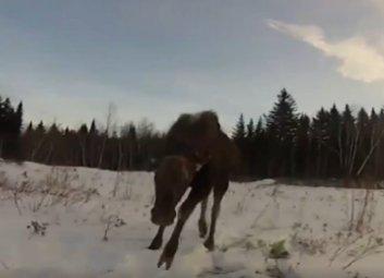 Doğal yaşamına bırakılan geyik kaçmak yerine saldırdı