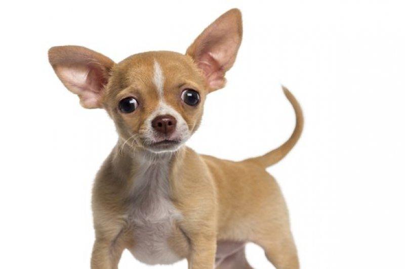Küçük Ve Sevimli Köpek Cinsleri
