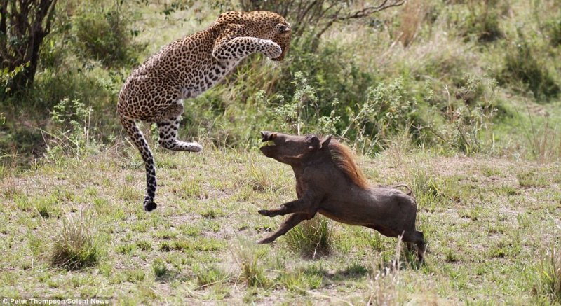 Kare Kare Leoparın Domuz Avı