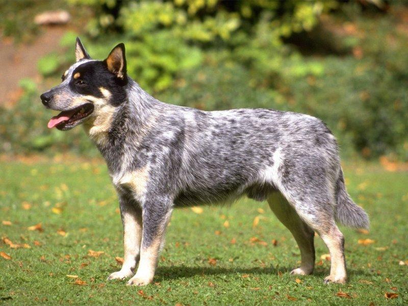 Çoban Çoban köpeği: tarih, açıklama, doğa ve bakım