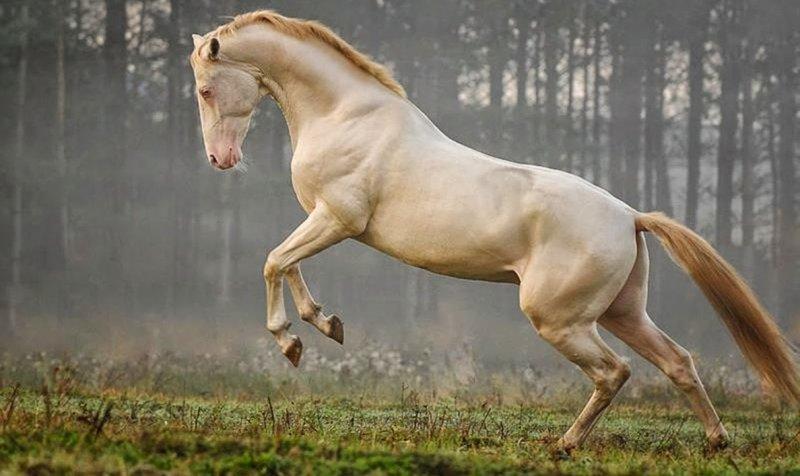 Alman Shetland Pony