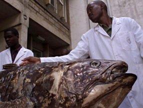 Yaşayan fosil lakaplı balık 100 yıl yaşıyor, hamileliği 5 yıl sürüyor