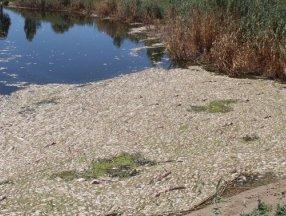 Büyük Menderes'te toplu balık ölümleri