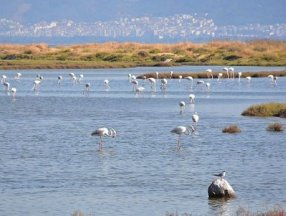 Gediz Deltası'nda bazı kuş türleri ölü bulundu