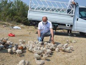 Seyhan Baraj Gölü'nde yüzlerce civciv ölüme terk edildi