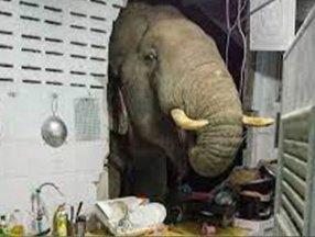 Tayland'da karnı acıkan fil, bir ay önce girdiği evin mutfağına daldı