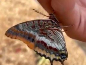 Antalya'da yangından kaçan kelebek görevlinin elinden su içti
