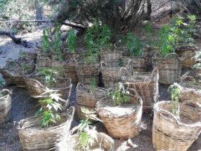 Manisa'da sepet içinde yetiştirilen 78 kök kenevir yakalandı
