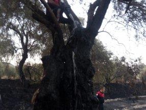 Aydın'da demir kesme makinesi 60 yıllık zeytin ağaçlarını yaktı