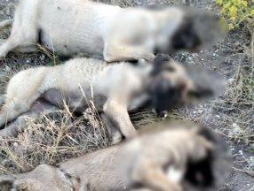 Ankara'da 5 sokak köpeği ölü bulundu