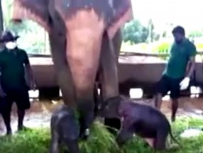 Sri Lanka'da 80 yıl sonra ikiz fil doğdu