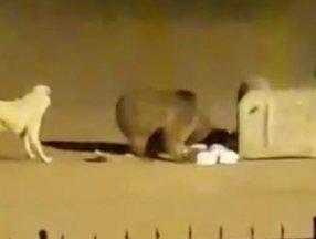 Ardahan'da açlıktan kente inen ayı çöpleri karıştırdı