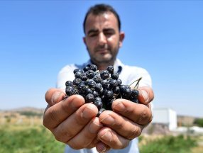 Konya'da kanser eşi için yetiştirmeye başladığı aronya, geçim kaynağı oldu