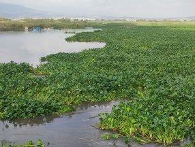 Hatay'da su sümbülleri denizi istila etti